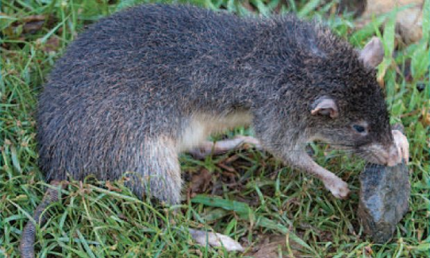 Rattus detentus - new Rattus species.JPG